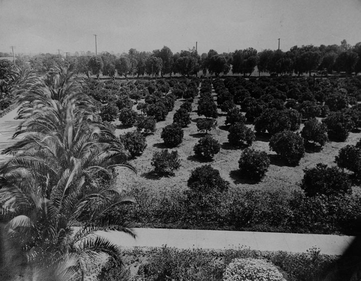 HOLLYWOOD ORANGE GROVE, 1910